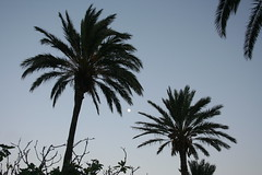 Moonlit palms (tigertim1950) Tags: moon pollensa majorca