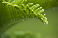 green bit (joms-allsunday) Tags: tree green nature water rain pine droplets waterdrops