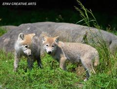Arctic wolf pups! (WhiteEye2) Tags: wolf wolfpup arcticwolfpup hennysanimals hennysanimalkingdom