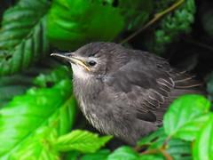 Amselbaby (sweetangel90) Tags: baby macro bird nature natur grn braun makro schwarz vogel amsel hecke