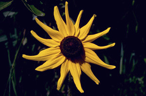 Photo - Black-eyed Susan