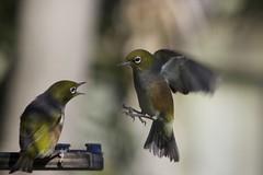 Bird fight (Derek Tearne) Tags: birds silvereye waxeye birdinflight gardenbirds waxeyeinflight