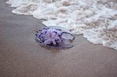 Jellyfish (Nuria Ocaa) Tags: travel sunset sea summer detail beach water animal walking dead 50mm coast sand jellyfish waves rip salt violet august lilac shore surprise summertime goodbye tentacles seawater empuriabrava cnidaria