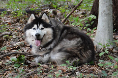 """Zarro Just Decided To Lay Down In The Woods? • <a style=""""font-size:0.8em;"""" href=""""http://www.flickr.com/photos/96196263@N07/9867759404/"""" target=""""_blank"""">View on Flickr</a>"""