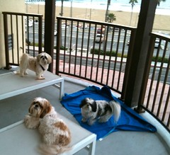 Shih Tzus on the terrace (wen_grey) Tags: california vacation dog kids shihtzu huntingtonbeach