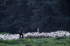 """The new """"Poilus"""" (Alexandre Madej) Tags: canada france memorial war sheep wwi slaughter carnage bombs guerre minefield pasdecalais poilus"""