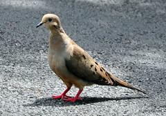 DSC_0198 (rachidH) Tags: nature birds laughing mourning pigeon dove nj sparta pidgeon oiseaux zenaidamacroura tourterelle tourterelletriste americanmourningdove rachidh