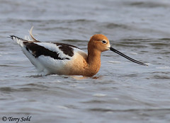 American Avocet (Terry Sohl) Tags: water southdakota feeding american americana wade feed wading avocet foraging recurvirostra