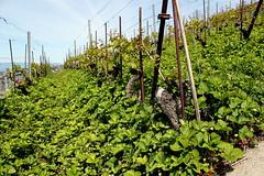 strawberries (overthemoon) Tags: blue lake green schweiz switzerland spring vines suisse strawberries unescoworldheritagesite vineyards svizzera lman vignoble vaud lavaux romandie terracedvineyards vignobleenterrasse bourgenlavaux