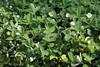 Potentilla montana, Berg-Fingerkraut, Habit (julia_HalleFotoFan) Tags: rosaceae potentilla fingerkraut rosengewächs potentillamontana botanischergartenhalle bergfingerkraut