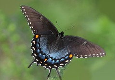 Black Tiger (DrPhotoMoto) Tags: blue orange black yellow butterfly swallowtail tigerswallowtail richmondcounty papilioglaucus blackmorph eyespot