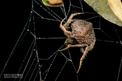 Wrap-around spider (Talthybia sp.) - DSC_9545 (nickybay) Tags: riflerangeroad macro wraparound spider araneidae orb web singapore talthybia
