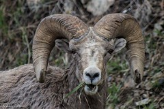 Tammy Miner - Bighorn sheep