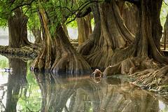 LAGO Y MAÑANA (NIKONIANO) Tags: trees lake tree water landscape lago arboles paisaje el arbre sabino ahuehuete sabinos nikoniano méxico michoacán waterenvirons ahuehuetedemoctezuma sergioalfaroromero lakesofmexico camécuaro