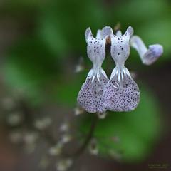 Twinned (OzzRod) Tags: flowers plants macro square pentax pair 150 spotted raynox smcpentax50mmf12 k5iis