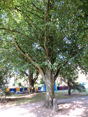 Onafhankelijkheidslinde, Watermaal-Bosvoorde (Erf-goed.be) Tags: geotagged boom brussel linde tiliacordata archeonet watermaalbosvoorde geo:lon=44085 onafhankelijkheidslinde onafhankelijkheidsboom kleinbladigelinde kruisboogsquare geo:lat=50801