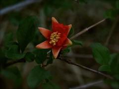 Trying To See Pomegranate Flower at Dawn (Chic Bee) Tags: predawn pomegranate flower heritagepomegranatevariety dark todarktofocus tucson arizona usa americansouthwest