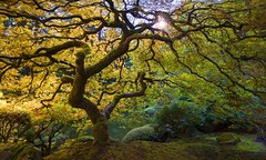 Japanese Maple Tree (Japanese Garden, Portland, OR) (Sveta Imnadze) Tags: portland or fall mapletree japanese garden