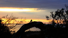 honeyeater at dawn (alden0249) Tags: australianwildlife dawn honeyeaters light nature sunrise coast