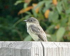 Eastern Phoebe (jaybirding) Tags: animal bird leicavlux114 maine me nature outdoor stormer northyarmouth us