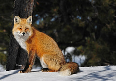 Red Fox resting in the sunshine - 1896b2 (teagden) Tags: redfox red fox resting sunshine winter jenniferhall jenhall jenhallphotography jenhallwildlifephotography wildlifephotography wildlife nature naturephotography photography nikon wild wyoming snow vulpesvulpes