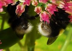 Fuzzy Butts..x (lisa@lethen) Tags: hbbbt bee bottoms butts nature wildlife sedum flower thursday