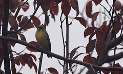 Birdwatching 20141122 (caligula1995) Tags: 2014 birdwatching goldfinch plumtree