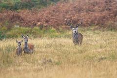 Red Deer - Cervus elaphus (L.Mikonranta) Tags: scottish red deer cervus elaphus scoticus saksanhirvi isokauris islay scotland