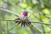 Volcano Hummingbird (Selasphorus flammula) male Poas & Barva volcanoes (Gmo_CR) Tags: selasphorusflammula volcanohummingbird colibrí chispitavolcanera chispita colibrímosca poasito poás barva male macho
