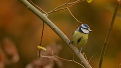 Autumn Birding (J @BRX) Tags: goldenacrepark bramhope leeds yorkshire england uk november2016 autumn colours orange yorkshirewildlifetrust bird bluetit tit tits