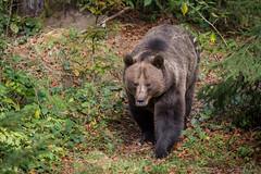 Beren01-6853 (Esther van Rooijen) Tags: bayerischerwald animals wildlife