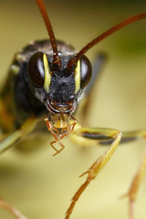 Crop from Large Ichneumon wasp #3 (Lord V) Tags: macro bug insect wasp ichneumon crop