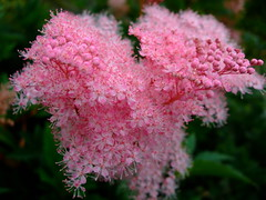 Filipendula rubra (yewchan) Tags: flower flowers garden gardening blooms blossoms nature beauty beautiful colours colors flora vibrant lovely closeup filipendula filipendularubra queenoftheprairie