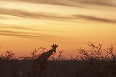 Etosha - Namibia (wietsej) Tags: etosha namibia sony rx10m3 rx10 iii rx10iii giraffe sunset