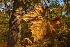 Sycamore Leaf (thefisch1) Tags: kansas landscape yard art forest timber moss sky water leaf shape interesting oogle calendar plains pond cattail sycamore nikkor nikon