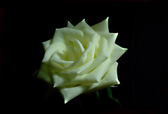 IMGP3574 Rose (tsuping.liu) Tags: outdoor organicpatttern rose white blackbackground blooming flowers nature natureselegantshots naturesfinest plant photoborder perspective petal passion pattern photographt photoboder purity serene