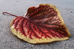 1 in Red Fusion (Mertonian) Tags: leaf autumn fall veins nature yellow red mertonian robertcowlishaw canon powershot g7x mark ii 1 canonpowershotg7xmarkii awe wonder ineffable beautiful backyardphotolab cement concrete delicate lookingdown detail texture curvy passion
