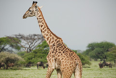 Masai giraffe (Marek Stefunko) Tags: nationalpark giraffatippelskirchi giraffe tanzania serengeti wildlife africa masaigiraffe