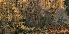 Northumberland Jungle 1 (anicoll41) Tags: larch autumn trees hepburnwoods northumberland northeastengland
