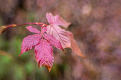 Autumn Leaves (Conrad Kuiper) Tags: 7dmkii fall canon sweet 35 optic sweet35 lensbaby sweet35optic
