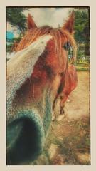 2016-10-31_09-38-16 (prout44) Tags: cheval hores pferd   caballo  bretagne batzsurmer