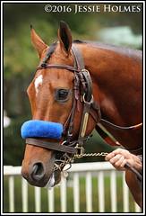 Hoppertunity (Spruceton Spook) Tags: hoppertunity jockeyclubgoldcup belmontpark horseracing horses