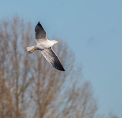 yellow-legged gull 069__174 (Baffledmostly) Tags: brandonmarsh actions flying yellowleggedgull