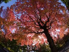 Taiwanese Maple got crimson color (nak.viognier) Tags: taiwanesemaple crimsoncolor kitasenri osaka    olympusepl3 lumixgfisheye8mmf35