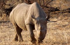(Kate.Donaldson) Tags: zimbabwe 2016 blackrhino