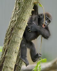 Hang on, Baby!!! (024144) (Mike S Perkins) Tags: yellow westernlowlandgorilla infant baby hanging tree climbing kansas city zoo zoosofnorthamerica