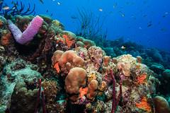 Reef_Bonaire_November 2016 C 3 (R13X) Tags: bonaire bonairediveandadventure underwaterphotography shorediving wideanglephotography reef coral sponge