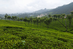 Tea Plantation (code_martial) Tags: d3300 1685mmf3556gvr ooty2016 coonoor