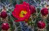 Flower Among Five Buds (JohnHersey16) Tags: dry bunch colorimage hedgehogcactus thorn flower southwestusa outdoor claret red bloodred bud closeup nopeople desertplant cactus arizona cactusflower desert succulentplant needleplantpart