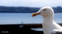 My best profile (patrick_milan) Tags: il eye animal seagull goland